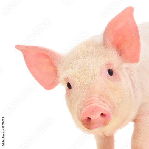 Fotografie, Obraz  Pig on white