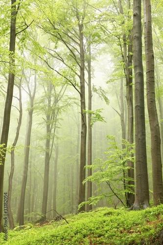 Papiers peints Foret brouillard Spring beech forest
