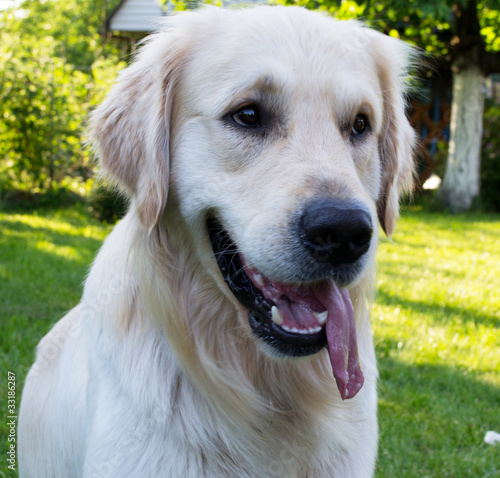 Photo  golden retriver