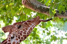 Giraffe Eating Green Leaves On The Tree