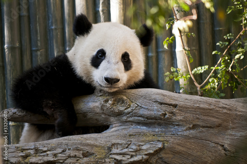 Fényképezés  Panda