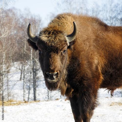 Deurstickers Bison wild bison