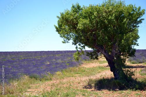 Poster Lavender Vieil Olivier dans un champ de lavande à Valensol