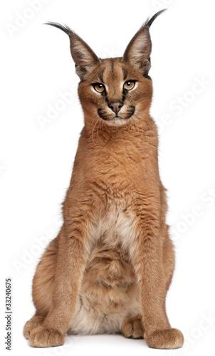 Poster Lynx Caracal, Caracal caracal, 6 months old