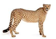Cheetah, Acinonyx Jubatus, 18 Months Old, Standing