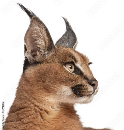 Poster Lynx Close-up of Caracal, Caracal caracal, 6 months old