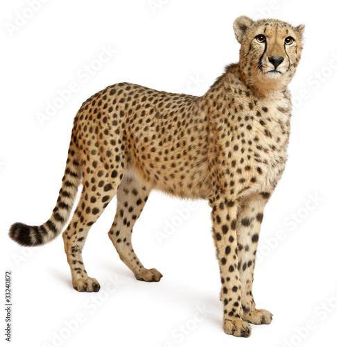 Cheetah, Acinonyx jubatus, 18 months old, standing Fototapet