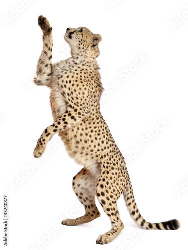Cheetah, Acinonyx jubatus, 18 months old