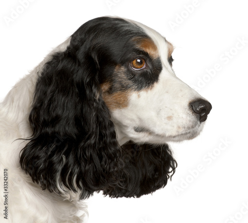 Cadres-photo bureau Chien Close-up of English Cocker Spaniel, 6 years old