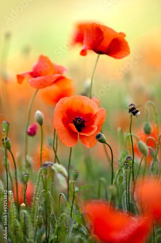 In de dag Poppy Roter Mohn