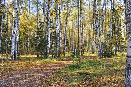 Foto op Aluminium Berkbosje Birch forest in autumn