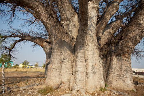 Keuken foto achterwand Baobab Baobab