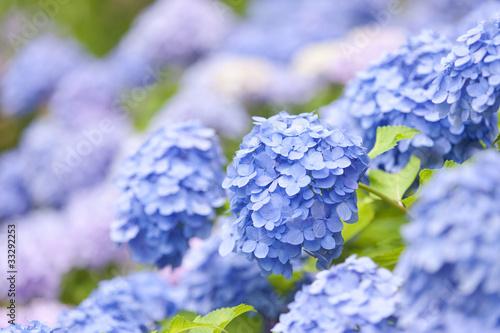 Fotobehang Hydrangea アジサイの花