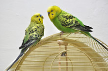 Two Green Budgerigars Sitting On Top Of The Golden Cage