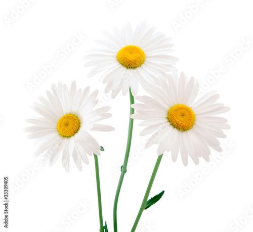 Foto op Aluminium Madeliefjes daisy