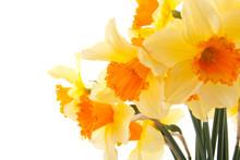 Yellow With Orange Daffodil Fl...
