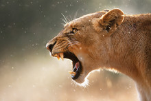 Lioness Displaying Dangerous T...