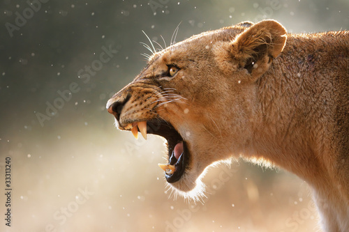 Valokuvatapetti Lioness displaying dangerous teeth