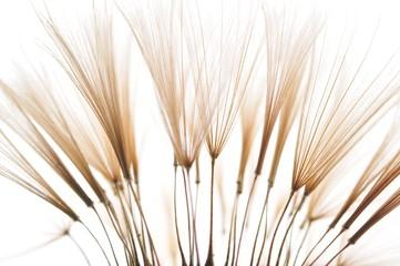 Fototapeta Dmuchawce dandelion seeds