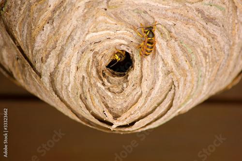 Photo  Wasps' nest