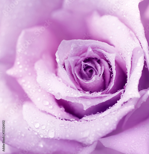 Purple wet rose background Poster