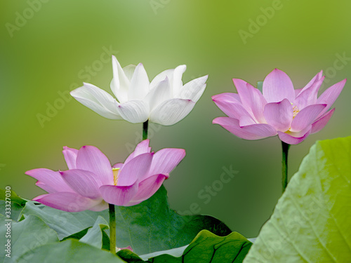 Foto op Canvas Lotusbloem bloom lotus