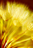 Soft dandelion flower background