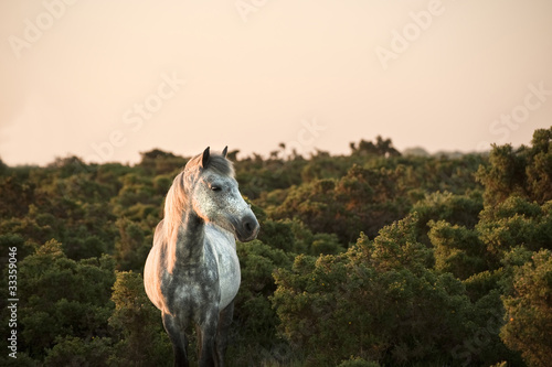 Fényképezés  Beauttiful close up of New Forest pony horse bathed in fresh daw