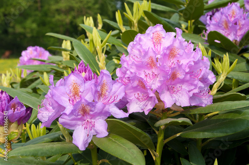 Azalea purple rhododendron flowers