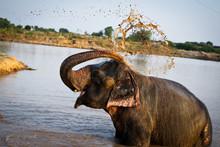 Agra Elephant
