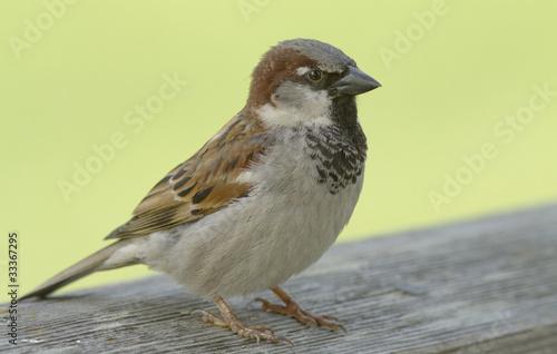 Photo  House Sparrow