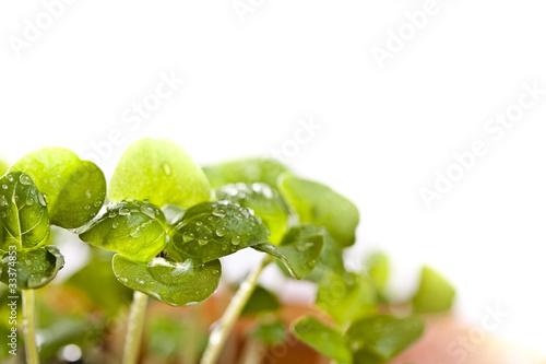 In de dag Bloemen Basil seedlings