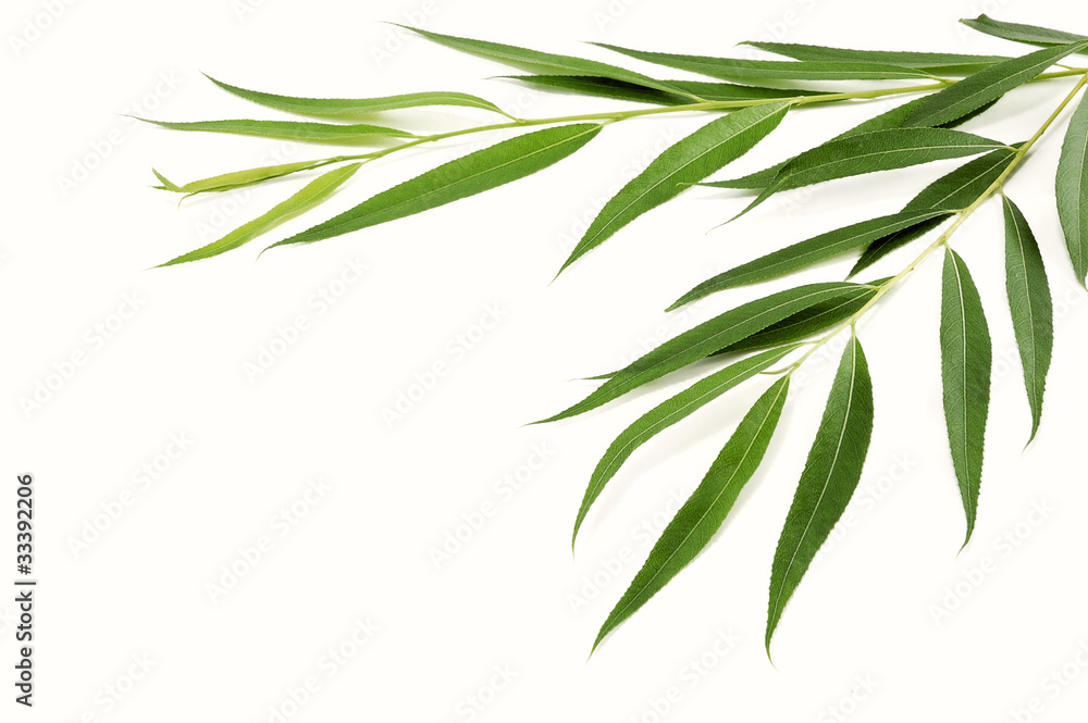 Fototapeta branches of willow with green leaves