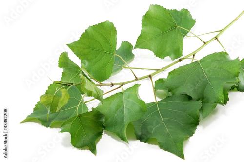 branch poplar trees with green leaves Fototapeta