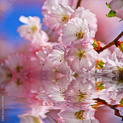 Fototapeta Czereśniowy drzewo w wodzie