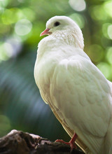 White Fantail Pigeon Close Up