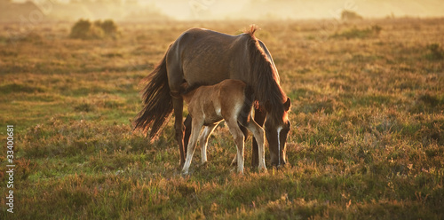 Valokuvatapetti New Forest pony mare and foal bathed in sunrise light in landsca