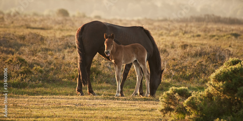 Fotografie, Obraz  New Forest pony mare and foal bathed in sunrise light in landsca