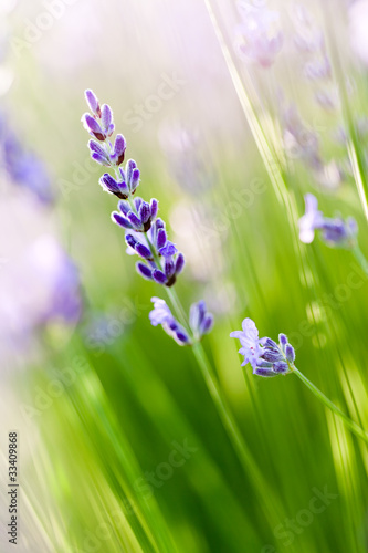 Photo  Lavande - lavender