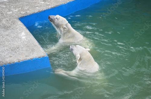 Poster Polar bear bears