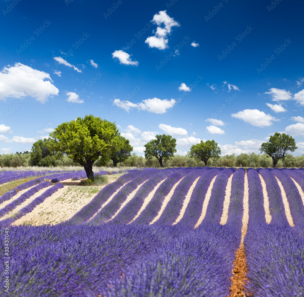 Fototapety, obrazy: Lavande Provence France / lavender field in Provence, France