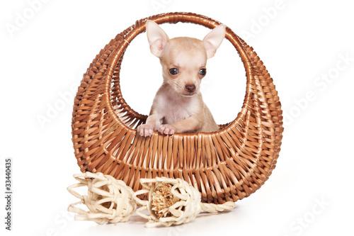 Papiers peints Chambre bébé Chihuahua dog on white background