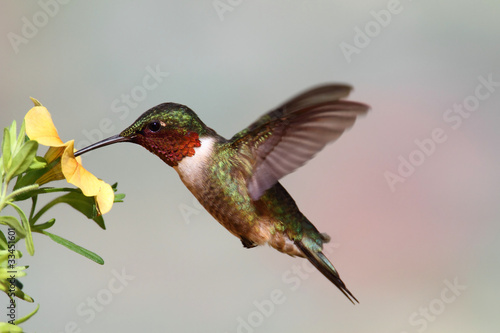 Aufkleber - Ruby-throated Hummingbird (archilochus colubris)