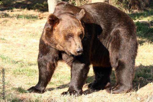 Photo  ours brun (Ursus arctos)