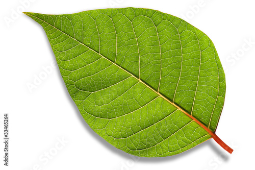 Fotografía  isolated leaf