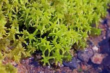 Macro View Of Green Sphagnum Moss By Water