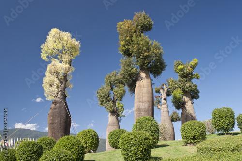 Recess Fitting Baobab Australian baobab trees in botanic garden
