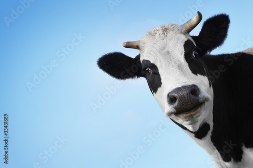 Acrylic Prints Cow Cow