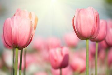 Naklejka Blooming tulips