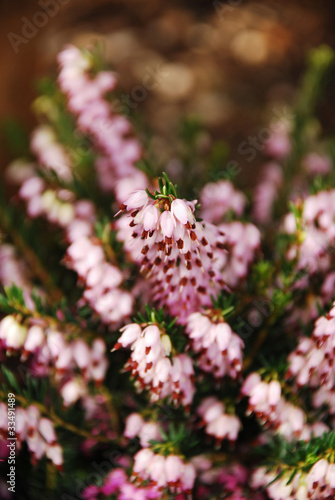 pink-heather-detail
